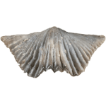 Vinladostrophia_acutilirata_250pxW