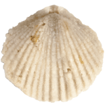 Zygospira_kentuckiensis_250pxW