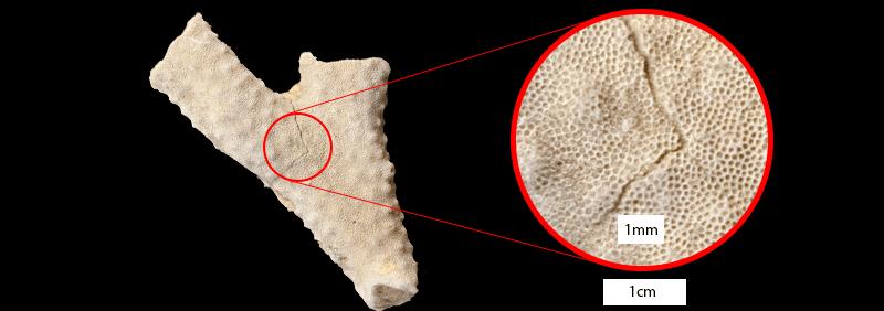 Homotrypa obliqua