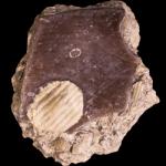 Schizocrania filosa_250pxB2
