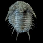 Acidapsis cincinnatiensis 250 black