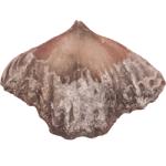 Zygospira cincinnatiensis_250pxW