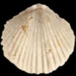 Zygospira_kentuckiensis_250pxB