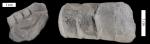 pleurorthoceras clarksvillensis 800