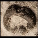 Lichenocrinus_crateriformis_250pxB