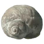 cyclonema limatum 250 white