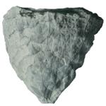 glyptocrinus fornshelli 250 white