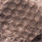 Paleodictyon_250px