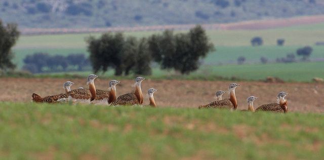 Great Bustards on the Steppe