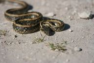 Viperine Snake