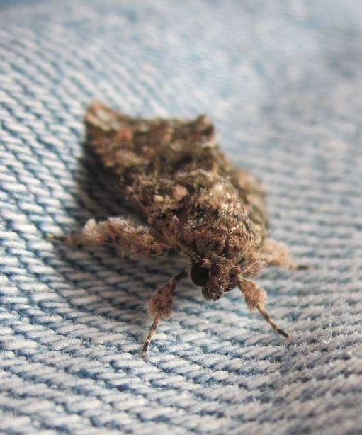 Latreille's Latin (Methorasa latreillei) moth