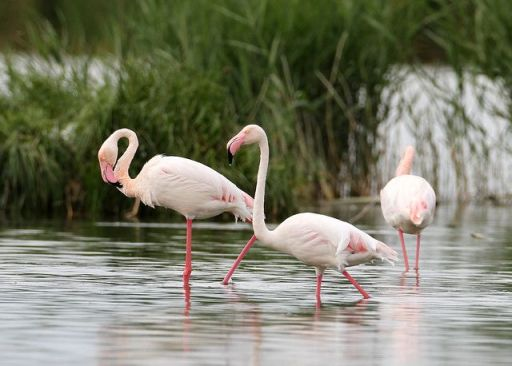 Greater Flamingo (Pheonicopterus roseus)