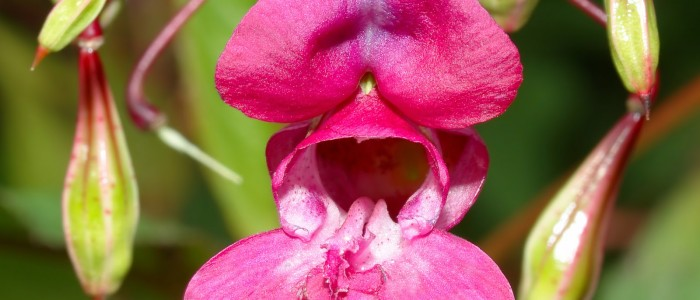 Impatiens (Impaciencia)