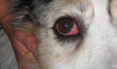 Boxer Dog Eye Sleep