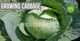 Cabbage Growing at Rooftop