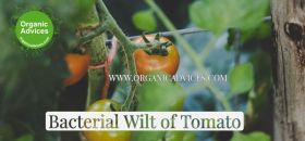 Control Bacterial Wilt of Tomato