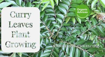 Curry Leaves Plant Growing Using Fermented Rice Water and Ground Nut Cake