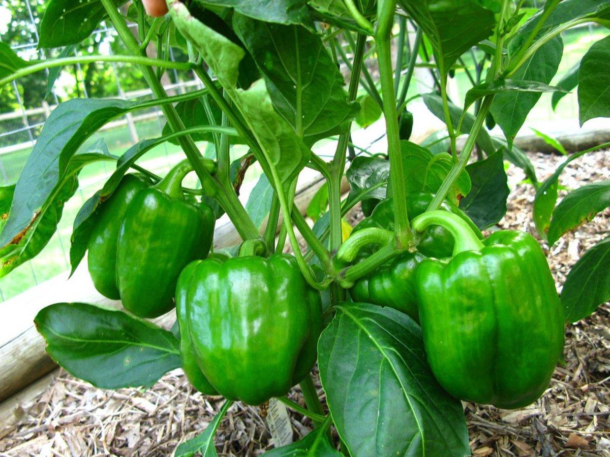 Eggplant Planting Tips