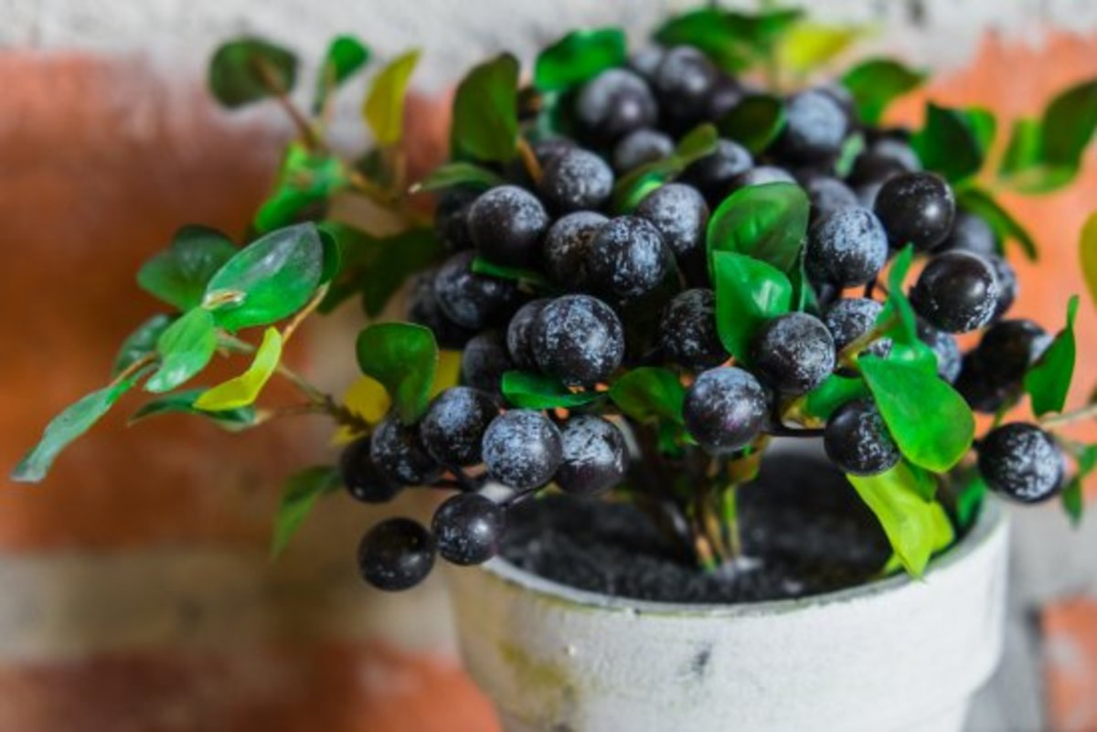growing blueberries in a container