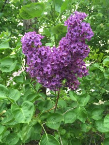 Lilacs In Backyard