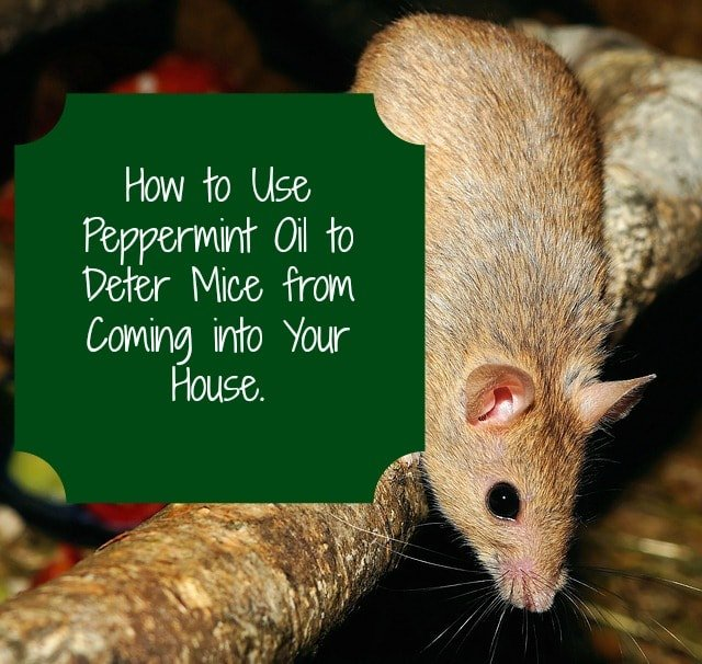 peppermint oil for getting rid of mice