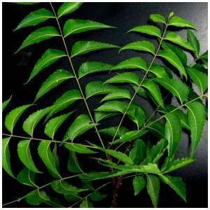 neem oil for gardens