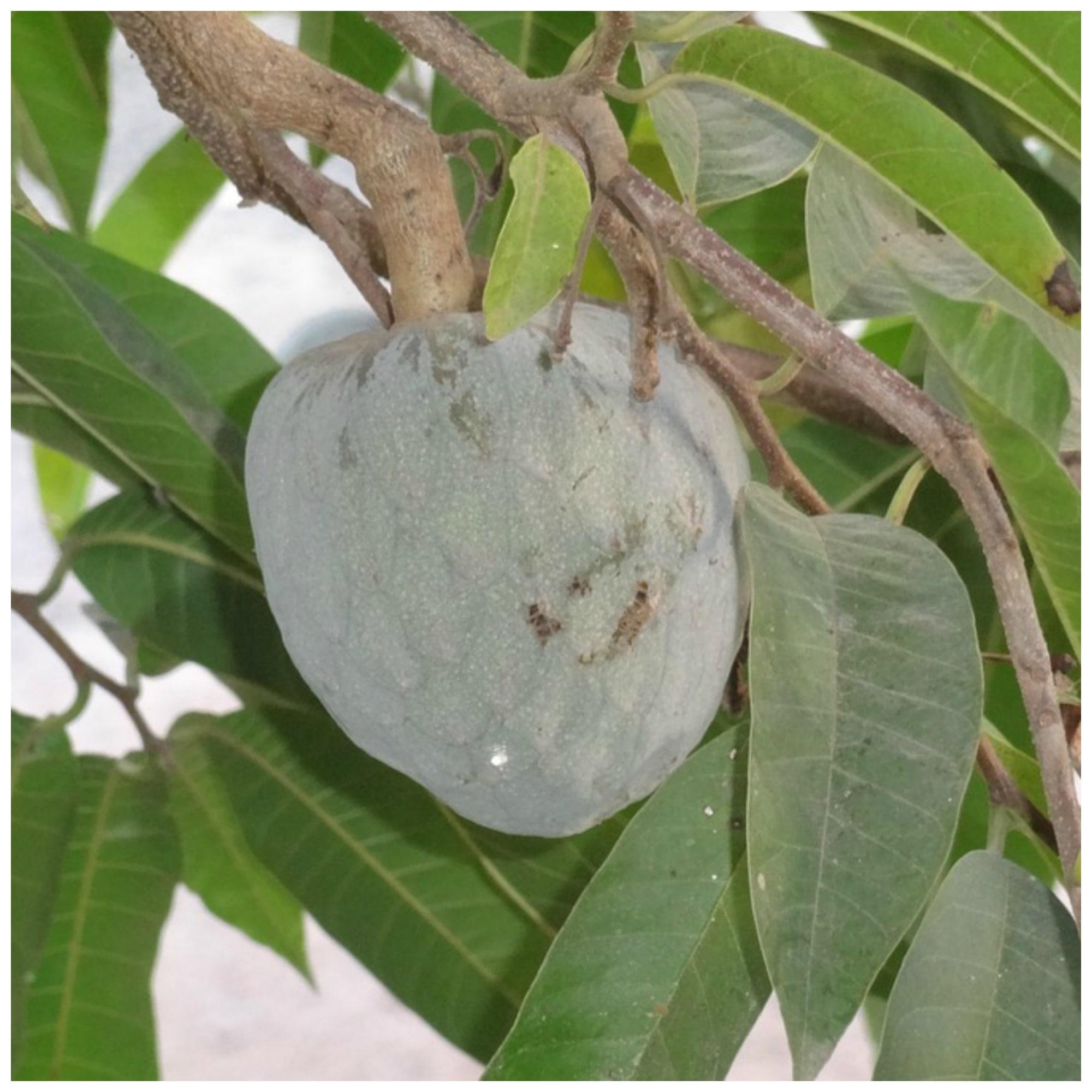Health Benefits Of Soursop Tea Leaves - Organic Palace Queen  Cherimoya