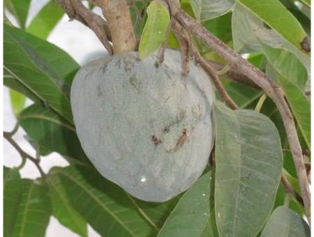 health benefits of soursop tea leaves