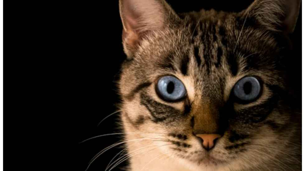 Why you shouldn't use essential oils on a cat