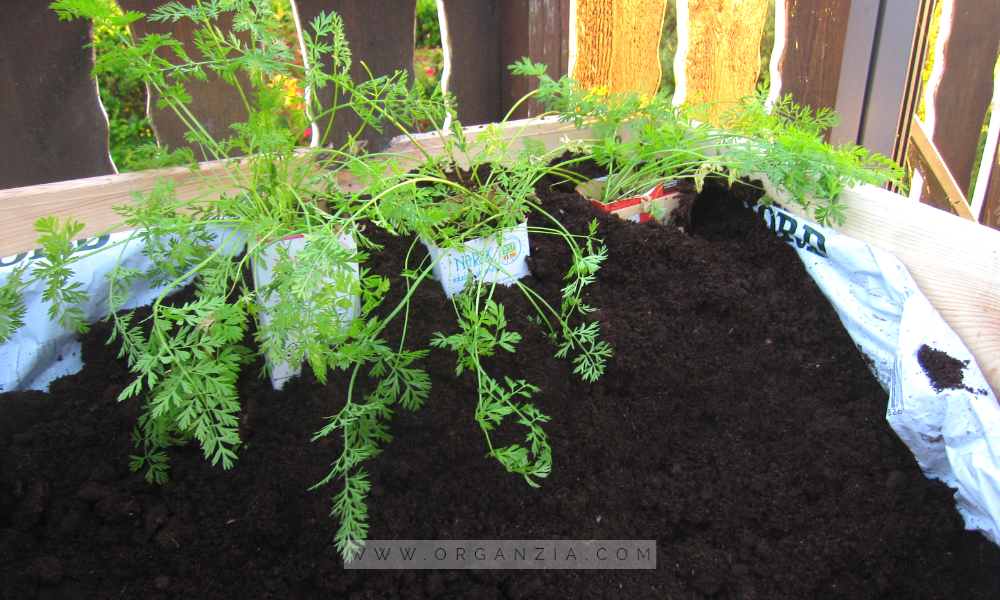 Grow carrots in milk cartons - in raised bed