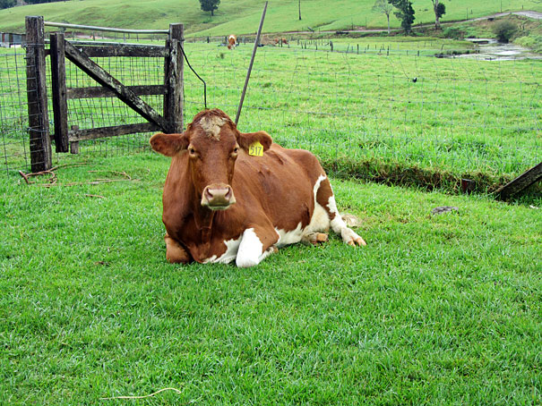 A visit to Maleny Dairies