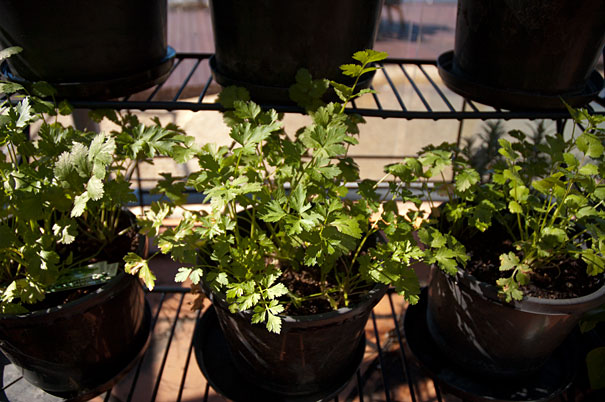coriander and parsley