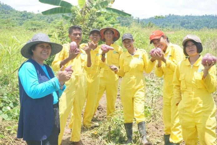 Mahasiswa Panen Ubi Ungu, Direktur Polbangtan Manokwari: Ubi Dapat Tingkatkan Imunitas Tubuh