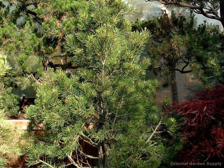 pinus bungeana 'rowe arboretum' - oriental garden supply llc