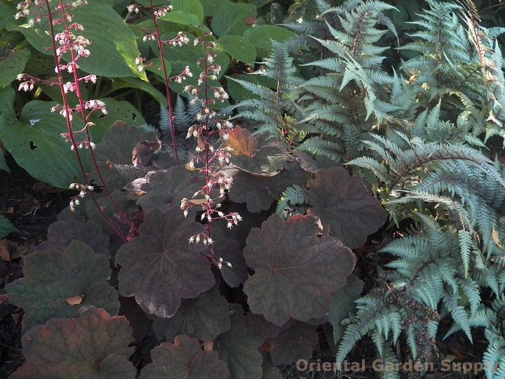 heuchera 'brownies' - oriental garden supply llc
