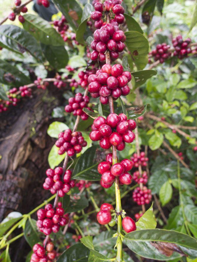Gesha Tree