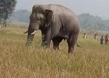 Elephants on damaging spree