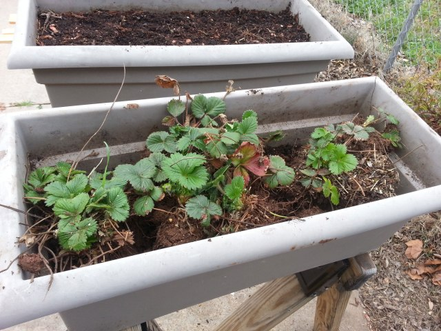 Strawberries - ready for transplant