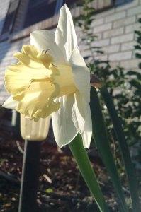 Surprise daffodil!