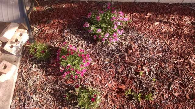 Dianthus! (Picture taken in March)
