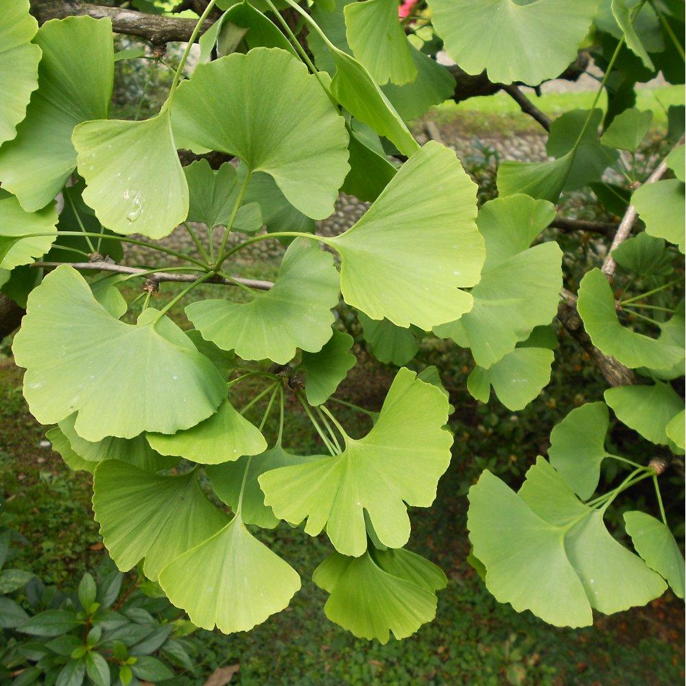 Ginkgo Biloba Buy Maidenhair Tree Ginkgo Tree For Sale