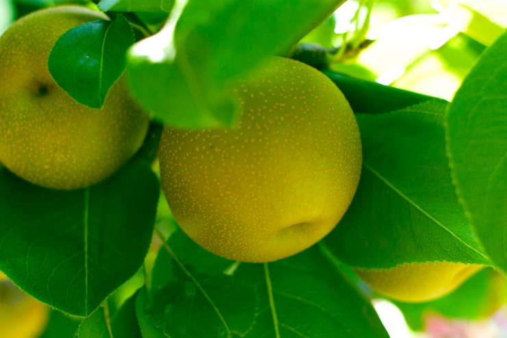 Oro Agri Pome Fruit Application Guide