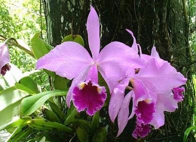 Orquídea na serra de Uruburetama