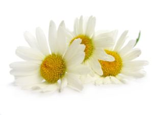 German Chamomile_Rosacea_Herbe Sois Calming Moisturizer_Organic Radiance Skincare