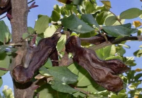 I SCIUSCEDDE, ovvero Ceratonia siliqua L. (Carrubo)