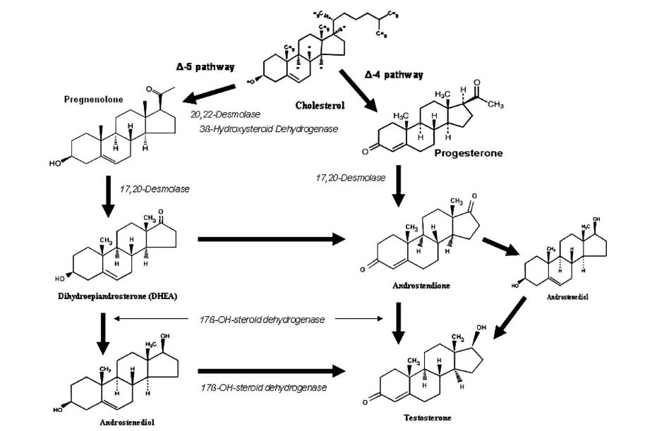 Testosteron molekülünün biyo sentezi