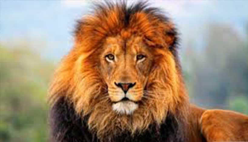 Τα λιοντάρια δεν ξεχνούν