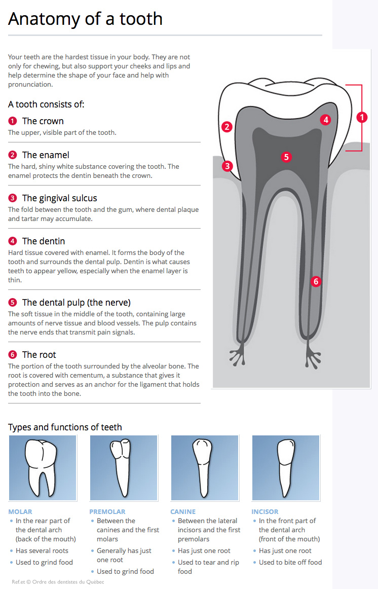 Awesome Anatomy Of Mouth And Gums Component - Anatomy and Physiology ...