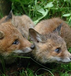Cuccioli di volpe – Fonte: ENPA