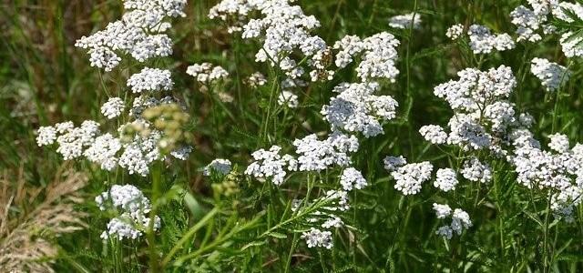 Duizendblad (Achillea millefolium)